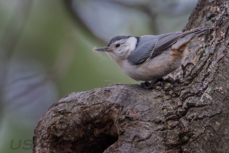 White Brested Nuthatch (b1445)