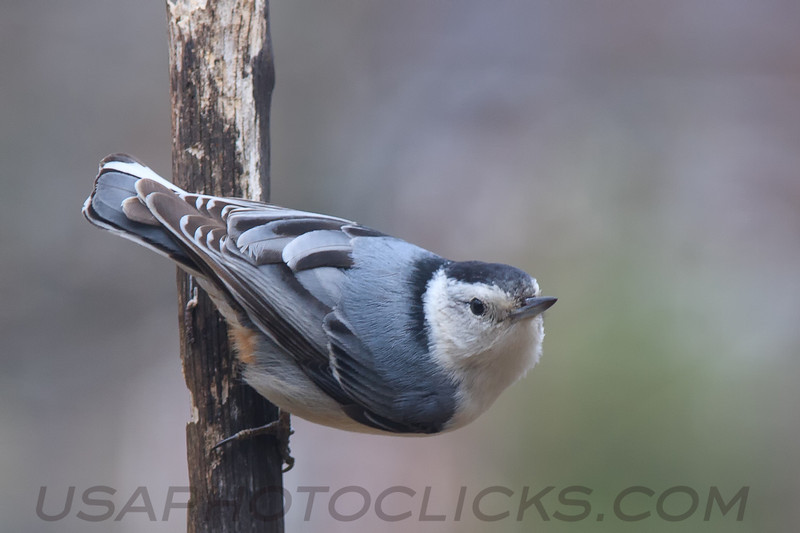 White Brested Nuthatch (b1432)