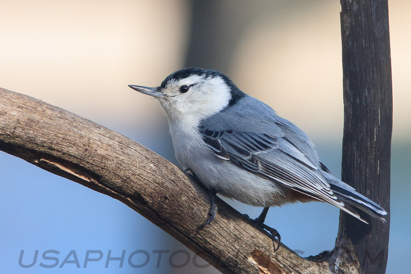 White Brested Nuthatch (b1433)
