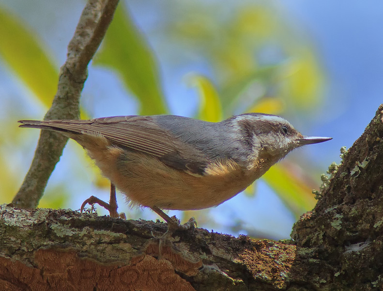 Red Brested Nuthatch (b1421)