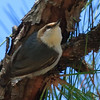 Brown Headed Nuthatch (b1411)
