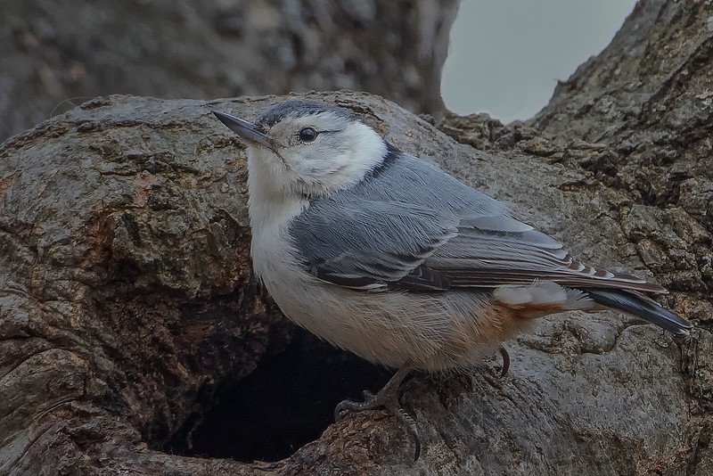 White Brested Nuthatch (b1446)