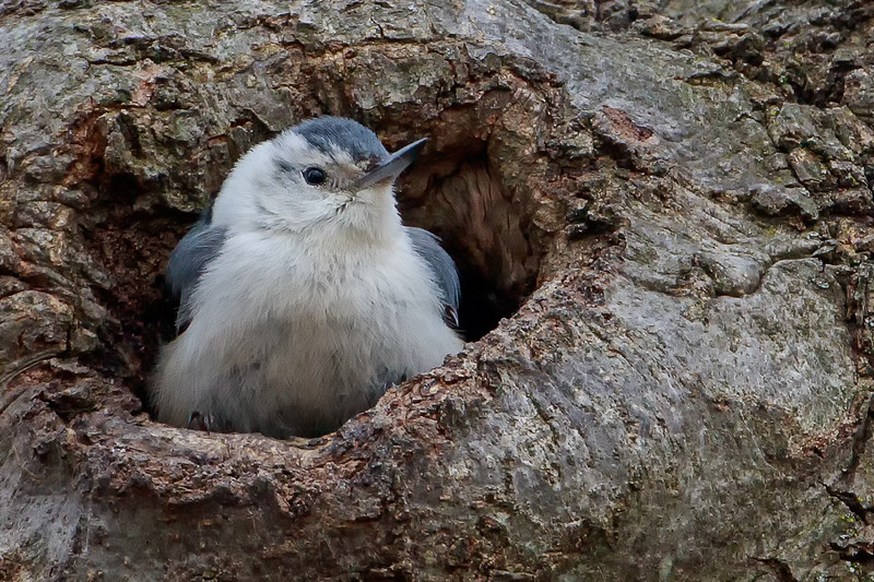 White Brested Nuthatch (b1444)
