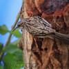 Brown Creeper (b0412)