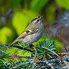 Beacon Hill, golden-crowned kinglet: Regulus satrapa