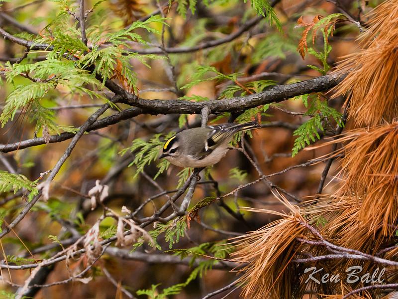golden-crowned kinglet: Regulus satrapa