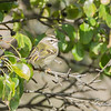 female, golden-crowned kinglet: Regulus satrapa, Mud Lake