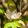 Beacon Hill, ruby-crowned kinglet: Regulus calendula