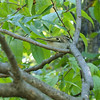 Golden -Crowned Kinglet