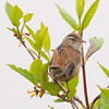 marsh wren: Cistothorus palustris, Reifel Bird Sanctuary