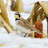 Giroux Road, horned lark: Eremophila alpestris