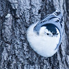 The nuthatch and I are cheerful, even at -27C.<br /> Jack Pine Trail, white-breasted nuthatch: Sitta carolinensis