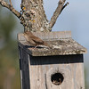 House Wren Bowsville RD Ottawa ON