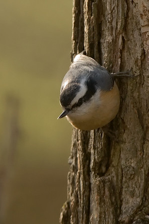Nuthatches, Creepers