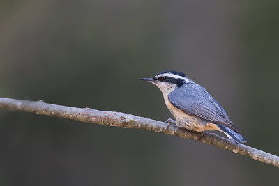 Red-breasted Nuthatch - Grayling, MI, USA