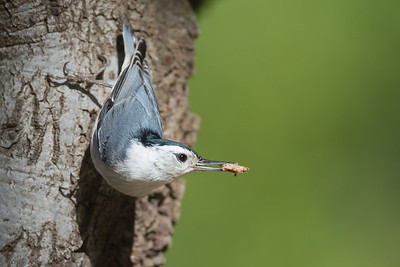 White-breasted Nuthatch with food - San Jose, CA, USA
