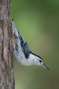 White-breasted Nuthatch - Grayling, MI, USA