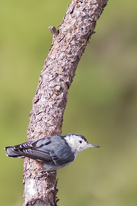 White-breasted Nuthatch - Record - Rocky Mountain National Park, CO, USA