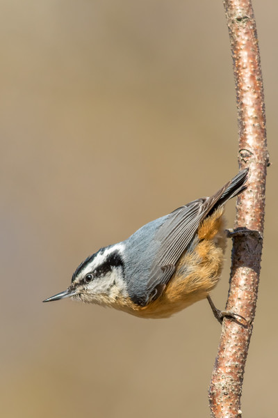 Red-breasted Nuthatch, Presqu'ile Provincial Park, Ontario