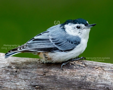 Juvenile White-breasted Nuthatch