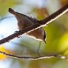Brown-headed nuthatch, Roanoke, VA