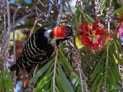 Nuttalls Woodpecker