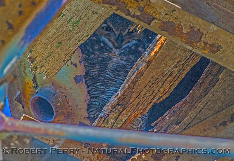 Bubo virginianus great horned owl under old water tower 2016 11-13 Staten Island Calif-060
