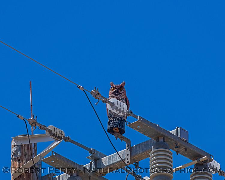 Bubo virginianus RUBBER DECOY atop power pole 2021 05-28 Black Butte Lake--320