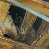 Bubo virginianus HORNED OWL 2017 04-14 Staten Isl -009