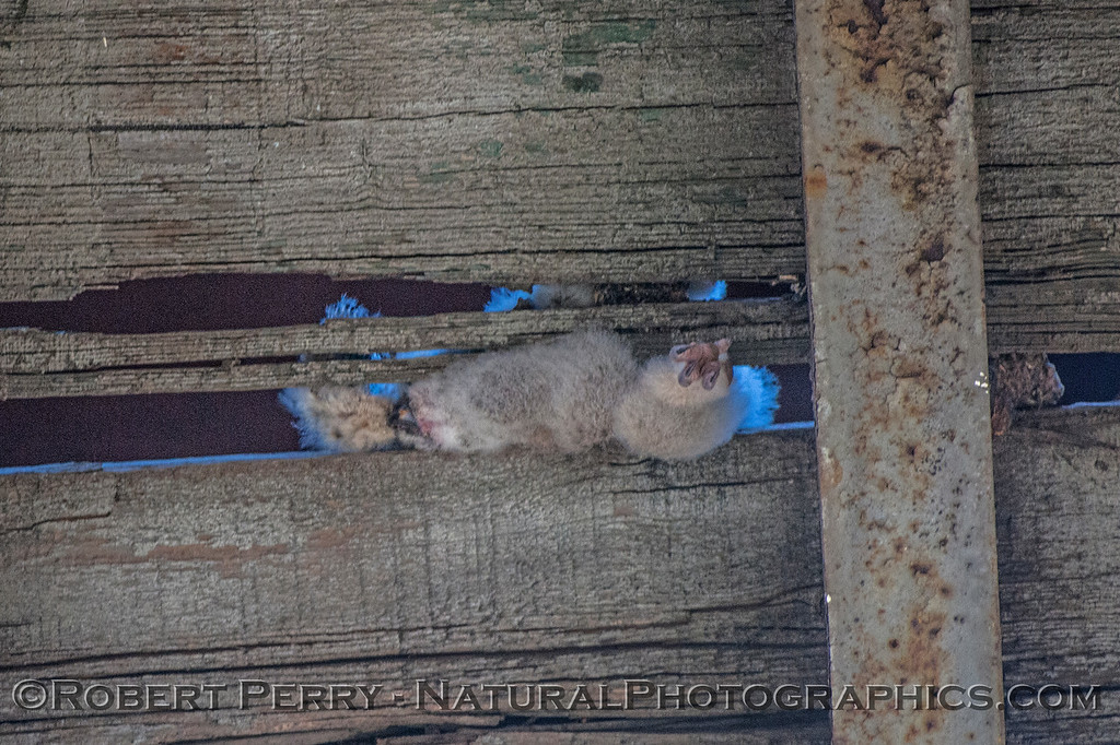 Bubo virginianus HORNED OWL deceased 2017 04-14 Staten Isl -016