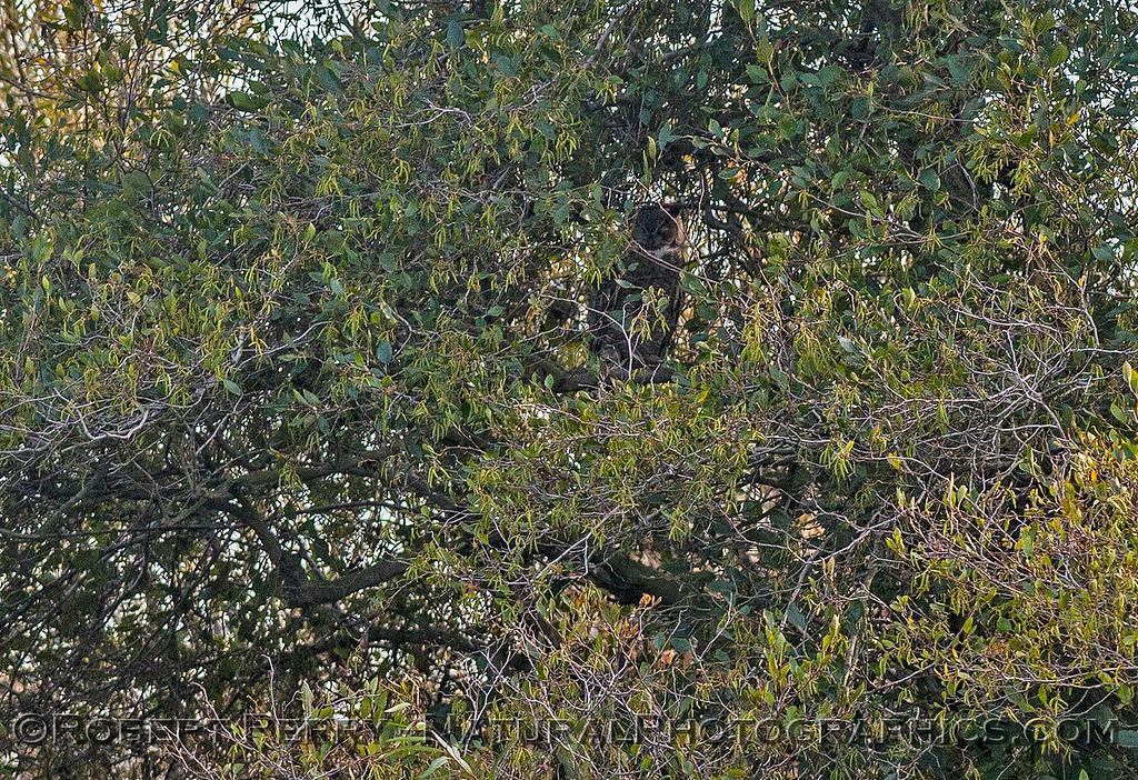 1-Bubo virginianus great horned owl 2016 11-05 Delta – Lodi--056