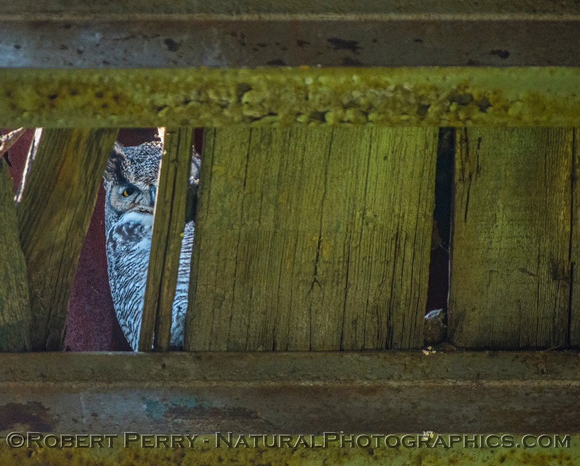 Bubo virginianus great horned owl 2016 12-27-Staten Island - Delta -315