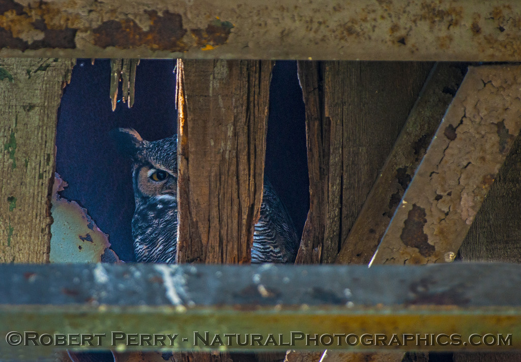 Bubo virginianus great horned owl under old water tower 2016 11-13 Staten Island Calif-076