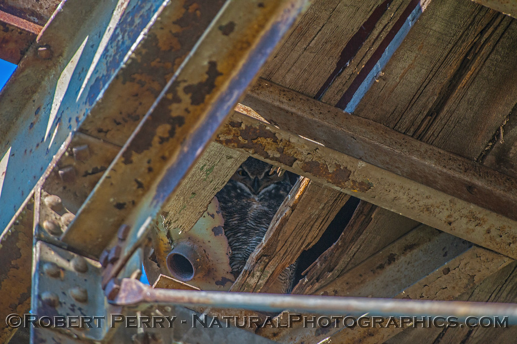 Bubo virginianus great horned owl under old water tower 2016 11-13 Staten Island Calif-063