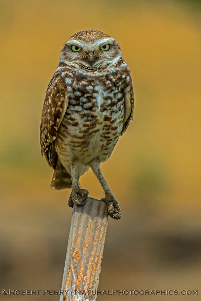Athene cunicularia burrowing owl 2017 05-30 Yolo County- 680