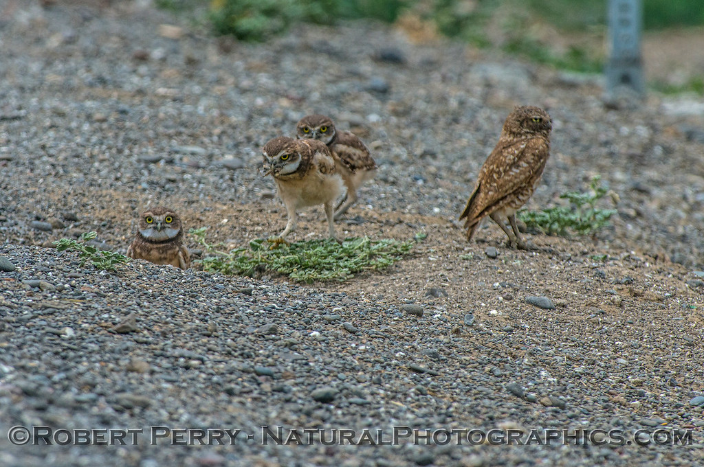 Athene cunicularia burrowing owl family group 2017 05-30 Yolo County- 115
