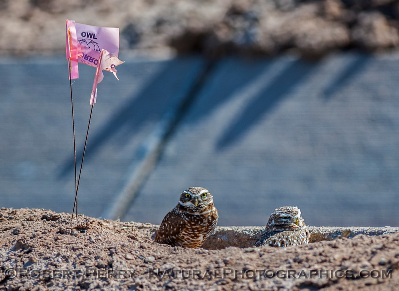 Athene cunicularia BURROWING OWLS - with flags- 2017 03-31 Sonny Bono NWR-090