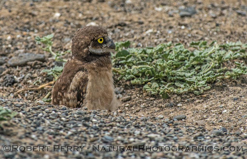 Athene cunicularia burrowing owl juvenile 2017 05-30 Yolo County- 266