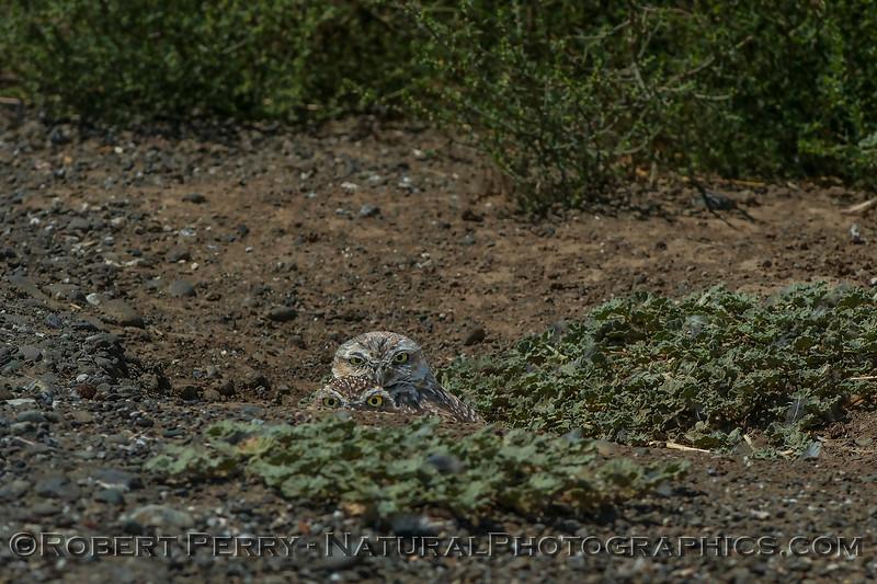 Athene cunicularia 2017 08-14 Yolo-171