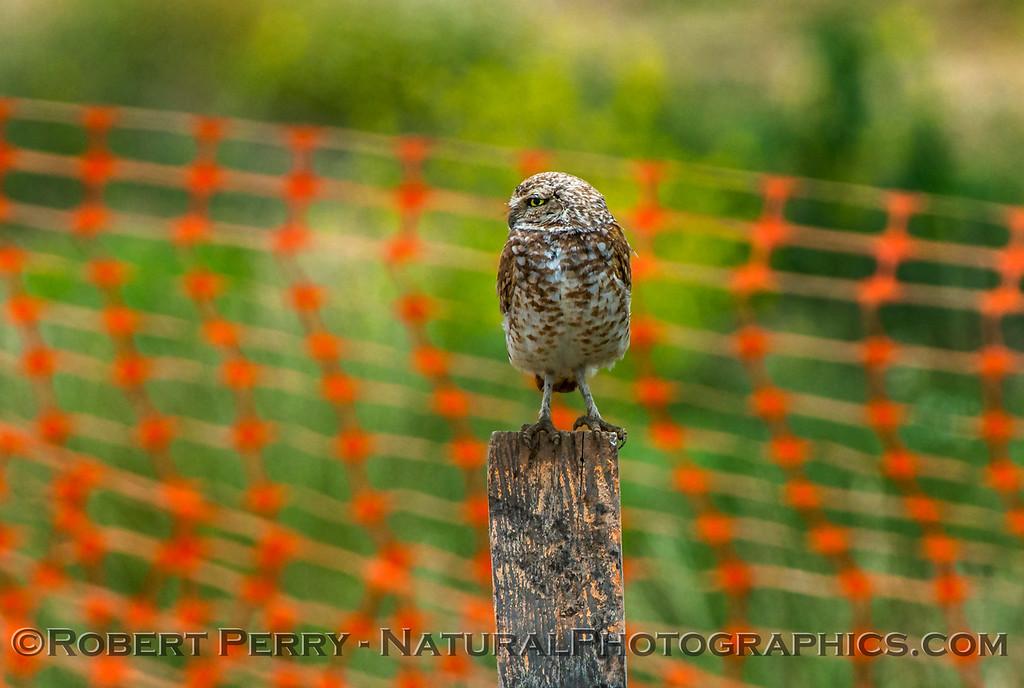 Athene cunicularia burrowing owl 2017 05-30 Yolo County- 027