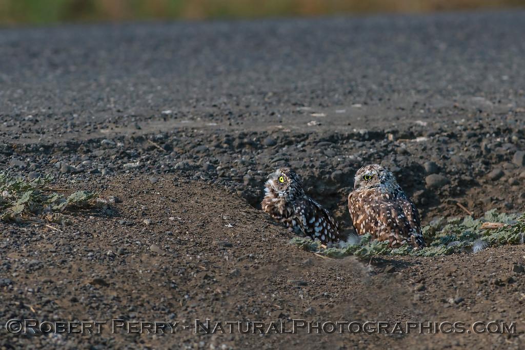 Athene cunicularia 2017 08-21 Yolo-199