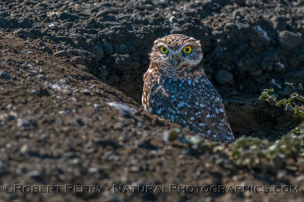 Athene cunicularia Burrowing owl 2017 10-23 Yolo County-062