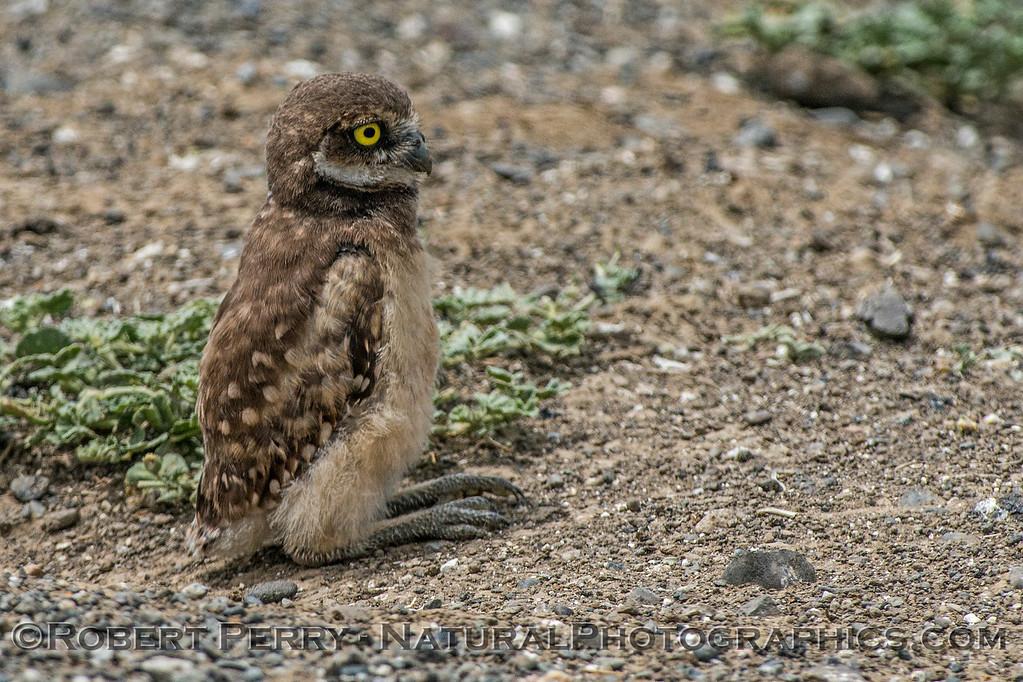 Athene cunicularia burrowing owl juvenile 2017 05-30 Yolo County- 273