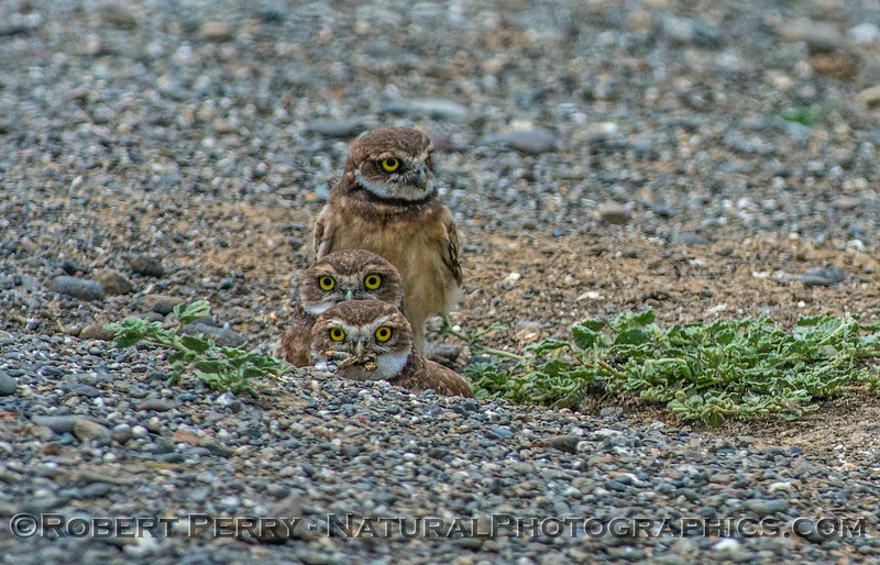Athene cunicularia 3 burrowing owls family group 2017 05-30 Yolo County- 117