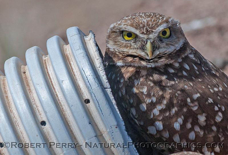 Athene cunicularia BURROWING OWL & pipe 2017 03-31 Sonny Bono NWR-215