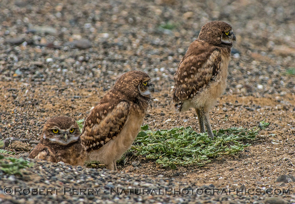 Athene cunicularia 3 burrowing owls family group 2017 05-30 Yolo County- 214
