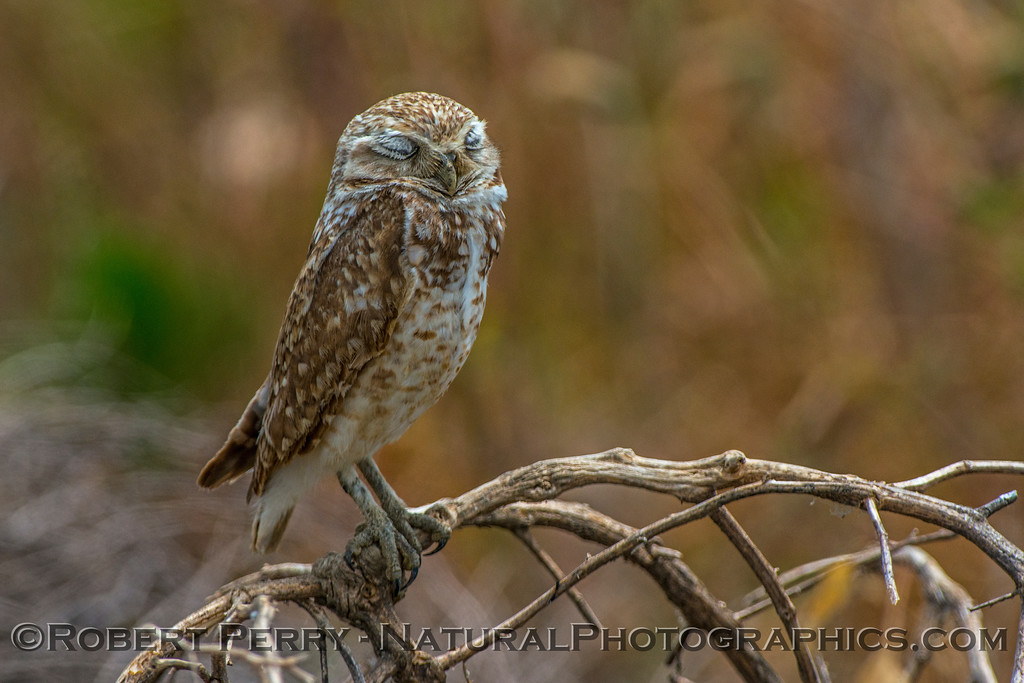 Athene cunicularia burrowing owl eyes closed 2017 05-30 Yolo County- 598