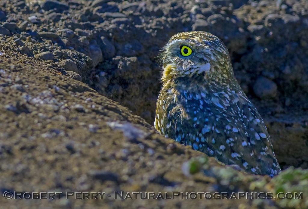 Athene cunicularia Burrowing owl 2017 10-23 Yolo County-053