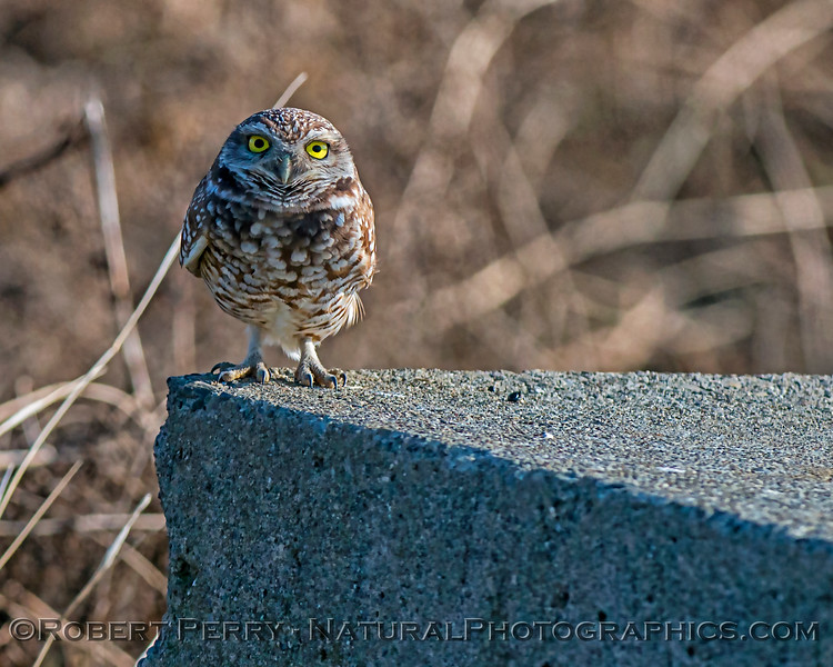 Athene cunicularia on cement block platform 2017 12-13 Yolo County-069