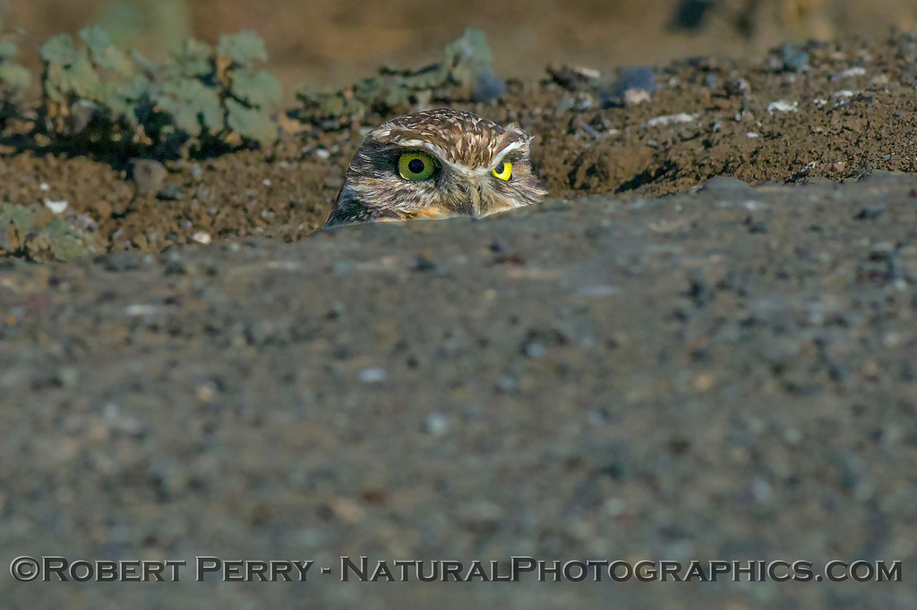 Athene cunicularia Burrowing owl 2017 10-23 Yolo County-008